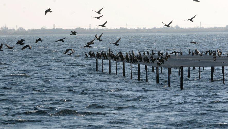Les oiseaux sur l'étang de Thau