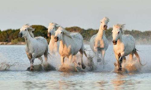 Chevaux au galop Camargue