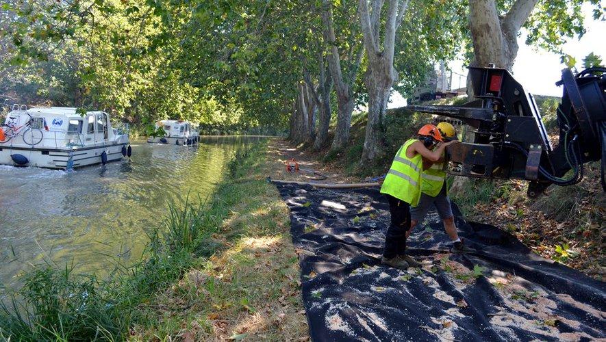 Programme de replantation des platanes le long du Canal du Midi