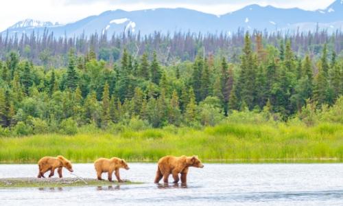Nature avec arbres, montagnes en fond et ours bruns qui marchent au premier plan