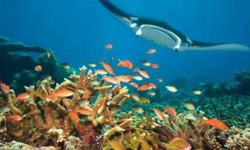 Une raie manta, du corail et des poissons de l'atoll Baa