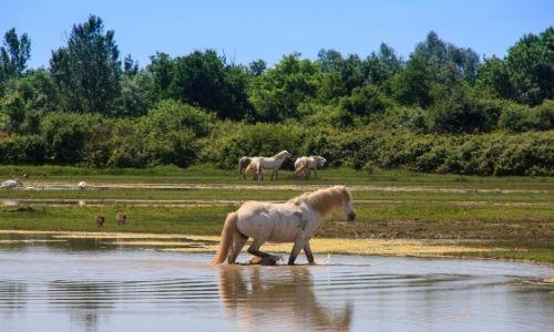 Les cheveux sauvages au pelage blanc se promène dans les terres humides de Camargue