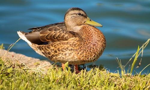 Un canard sauvage brun sur une margelle au bord de l'eau