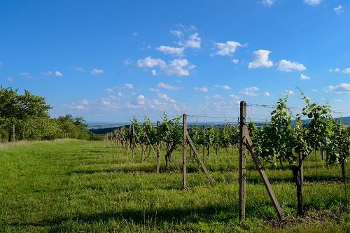Des vignes poussent sur une colline. En arrière plan on voit la plaine et un grand ciel bleu