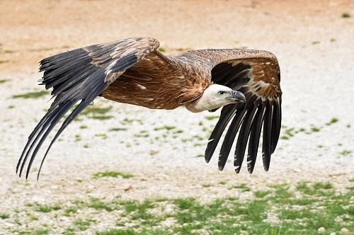 Un vautour des pyrénées survolant une plaine rocailleuse