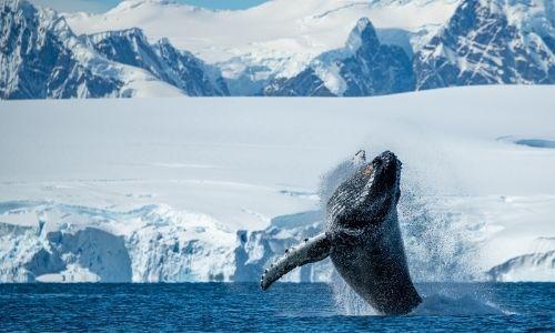 Une baleine à bosse sautant de l'eau devant la péninsule Antarctique