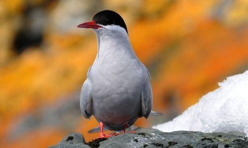 Une sterne d'Antarctique des îles Shetland