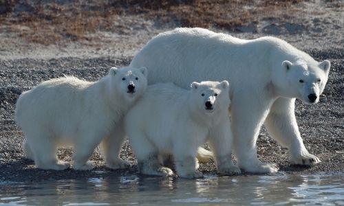 3 ours polaires sur la berge en Arctique